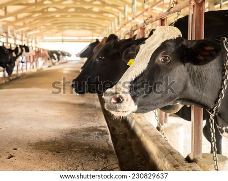 Milk cow cattle in tropical farm for various food industry - stock photo