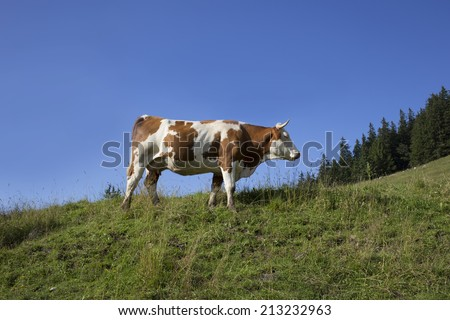 milk cow in German mountains - stock photo
