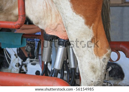 Milking the Cow - stock photo