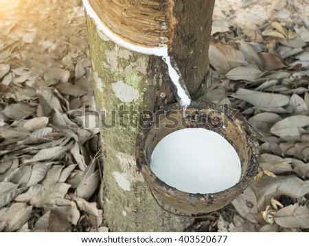 Milky latex extracted from natural rubber tree, Hevea Brasiliensis. - stock photo