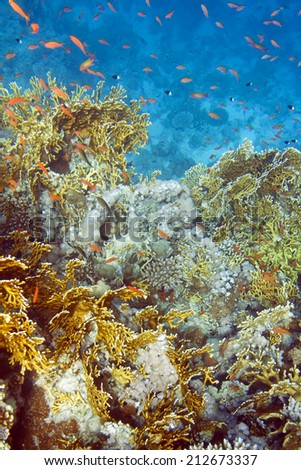 Millepora dichotoma coral and chromis dimidiata fish. Underwater life of Red sea in Egypt. Saltwater fishes and coral reef. Fire hard coral - stock photo
