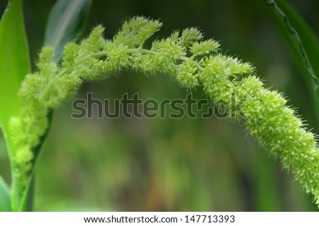 millet  isolated on blurred background - stock photo