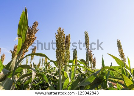 Millet or Sorghum field  with blue sky background - stock photo