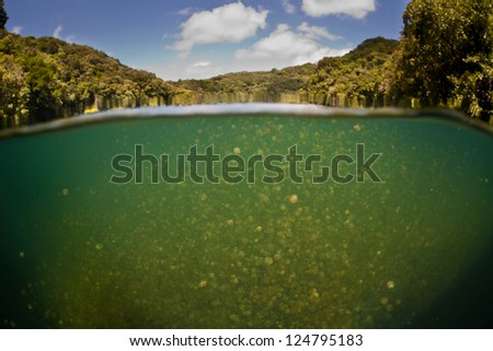 Millions of endemic jellyfish (Mastigias papua etpisonii) fill a marine lake in the Republic of Palau.  Palau has five different marine lakes filled with different subspecies of jellyfish. - stock photo