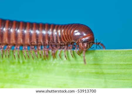 millipede crawling on blade of grass - stock photo