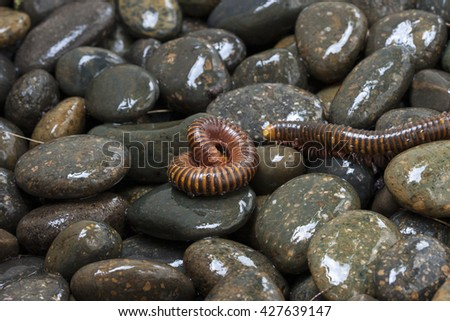 Millipedes on the wet rock. Asia, Close Up - stock photo
