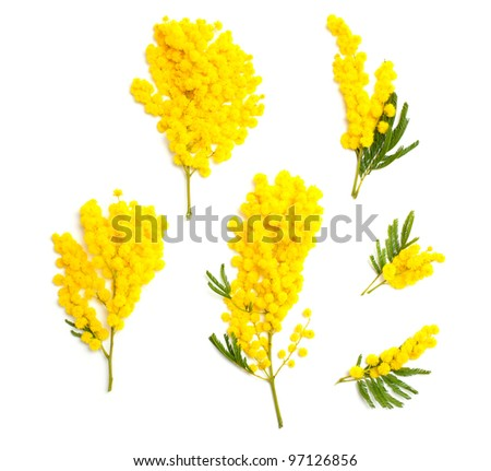 mimosa branches of different size and shape isolated on white background, top view - stock photo