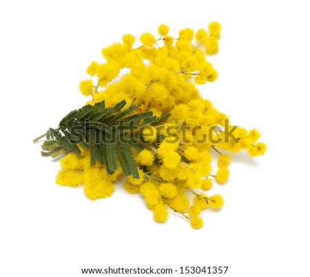 mimosa isolated on white - stock photo