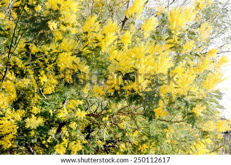 mimosa tree over white background with perfect focus over the flowers in the foreground - stock photo