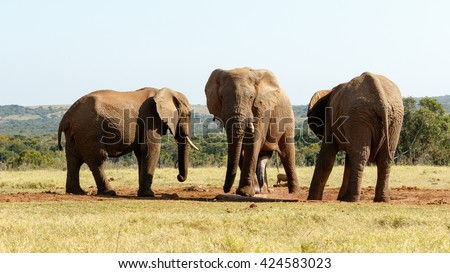 Mine is BIG - The African bush elephant is the larger of the two species of African elephant. Both it and the African forest elephant have in the past been classified as a single species. - stock photo