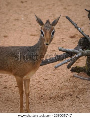 Mini antilope Dik-Dik - stock photo