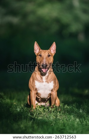 mini bull terrier sitting on the grass - stock photo