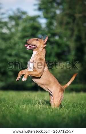 mini bull terrier  stands on its hind legs - stock photo