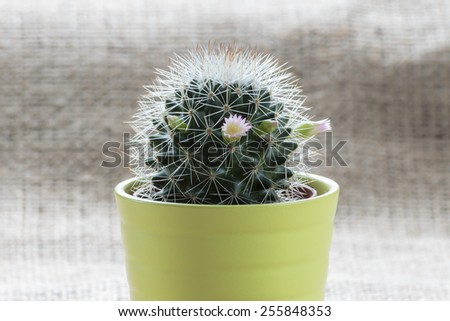 Mini cactus in bloom - stock photo