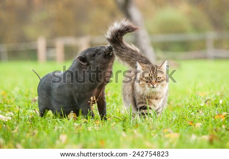Mini piggy sniffing cats tail - stock photo