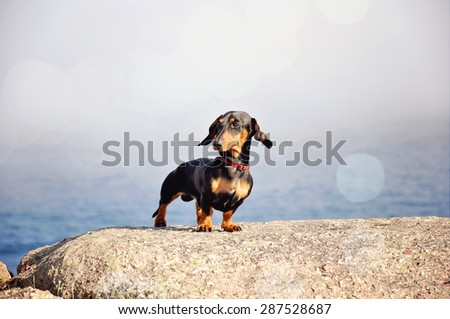 Miniature black and tan dachshund at the ocean shore standing on a rock. Toned image. - stock photo