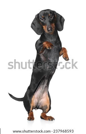 Miniature dachshund dancing on white background - stock photo