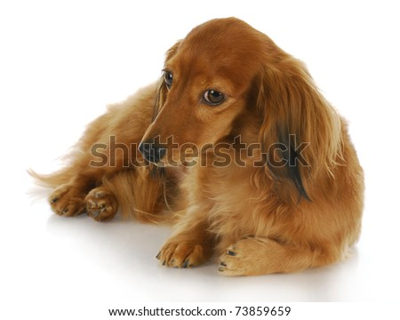 miniature dachshund laying down with knowing look in the eye on white background - stock photo