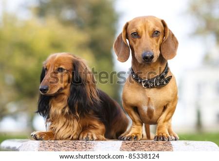 Miniature dachshund longhaired  and dachshund - stock photo