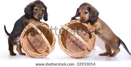 miniature dachshund puppy and basket - stock photo