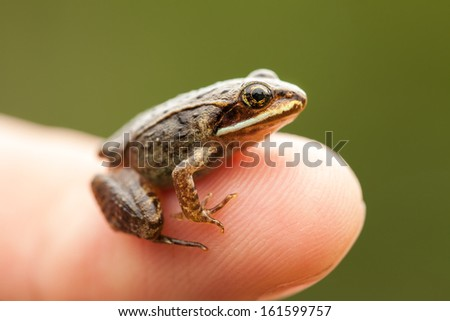 Miniature frog sitting on a Human Finger (index) so we can see how small the frog is - stock photo