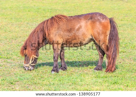 Miniature horse eating green grass - stock photo