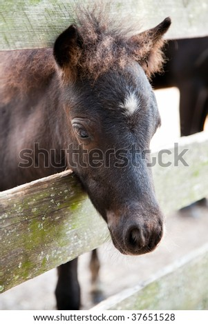 miniature horse filly or colt peeking through a fence - stock photo