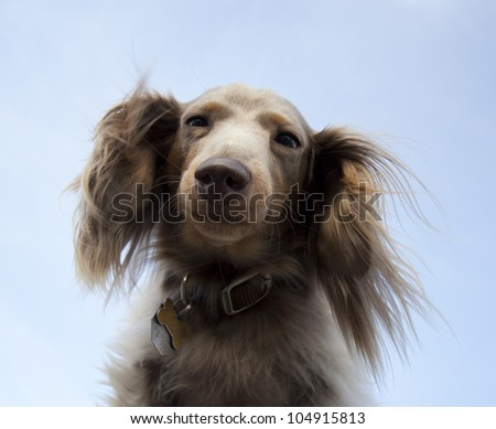 miniature long haired dachshund with blue sky - stock photo