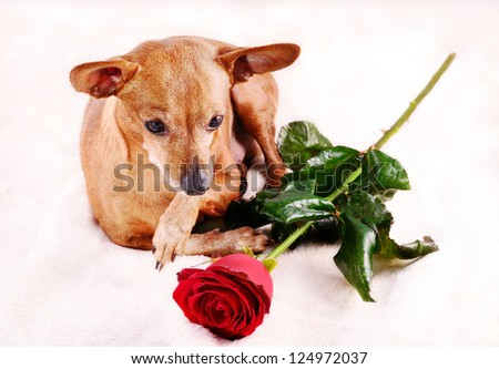 Miniature Pinscher dog and red rose - stock photo