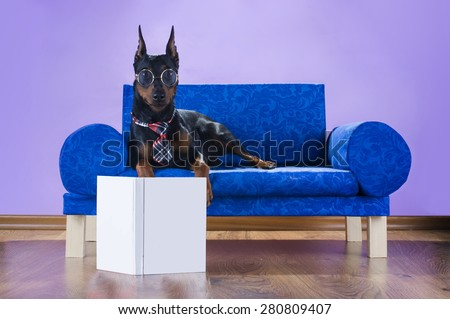 miniature pinscher dog is lying on a couch and reading a book - stock photo