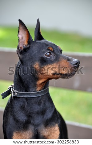 Miniature Pinscher dog on a leash - stock photo