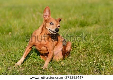 Miniature pinscher dog scratching in green meadow - stock photo