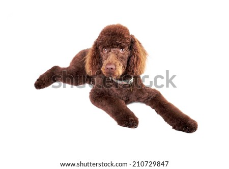 Miniature Poodle lying down isolated on a white background. - stock photo