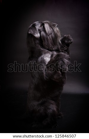 Miniature Schnauzer black on the black background - stock photo