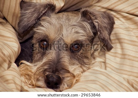 Miniature schnauzer dog bundled in a fluffy blanket - stock photo