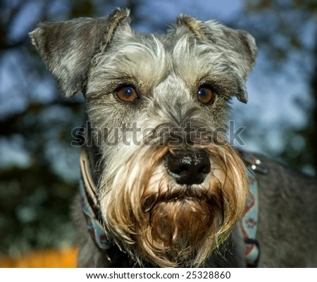 Miniature schnauzer dog posed outdoors. - stock photo