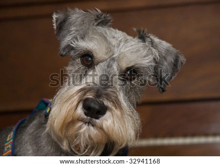 Miniature schnauzer dog poses in front of a piano indoors. - stock photo