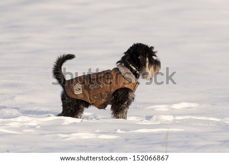 Miniature schnauzer in leather jacket on snow - stock photo