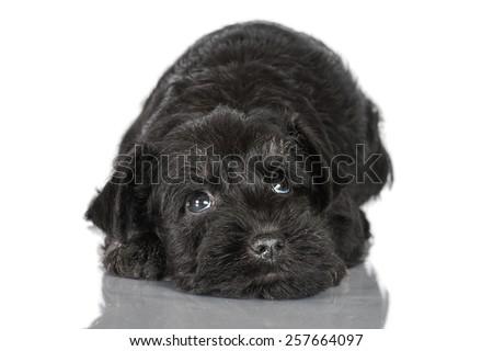 Miniature schnauzer puppy looking up - stock photo