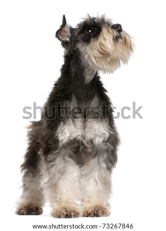Miniature Schnauzer, 6 years old, looking up in front of white background - stock photo