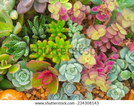 Miniature succulent plants - stock photo