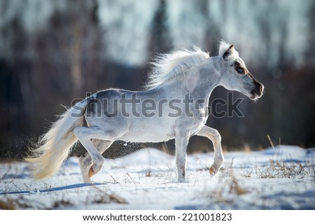 Miniature white horse runs in snow - stock photo