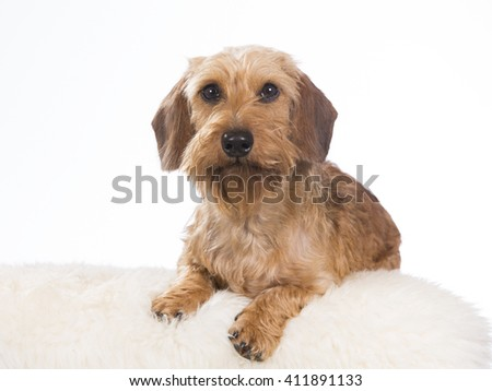 Miniature Wire-Haired Dachshund or weenie dog. The puppy is photographed in the studio. - stock photo