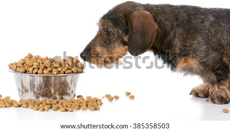 miniature wirehaired dachshund standing by a bowl of kibble on white background - stock photo