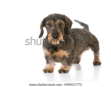 miniature wirehaired dachshund standing on white background - stock photo