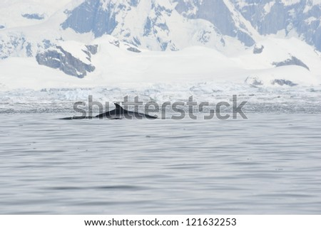 Minke whale in the Antarctic summer. - stock photo