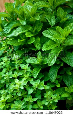 Mint and Oregano growing in a herb garden - stock photo