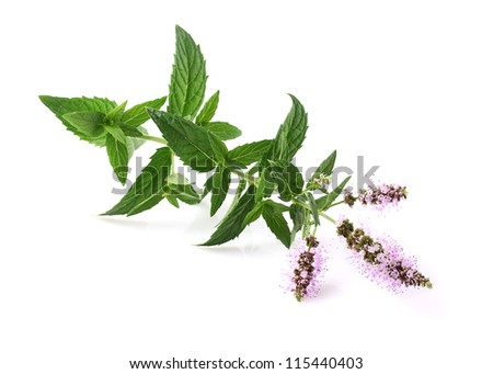 Mint flowers on a white background - stock photo
