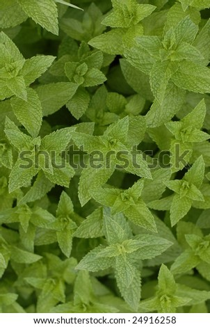 Mint leaves fill the frame - stock photo