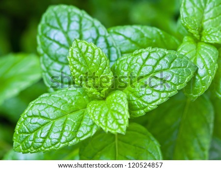Mint leaves in the foreground with the background out of focus - stock photo